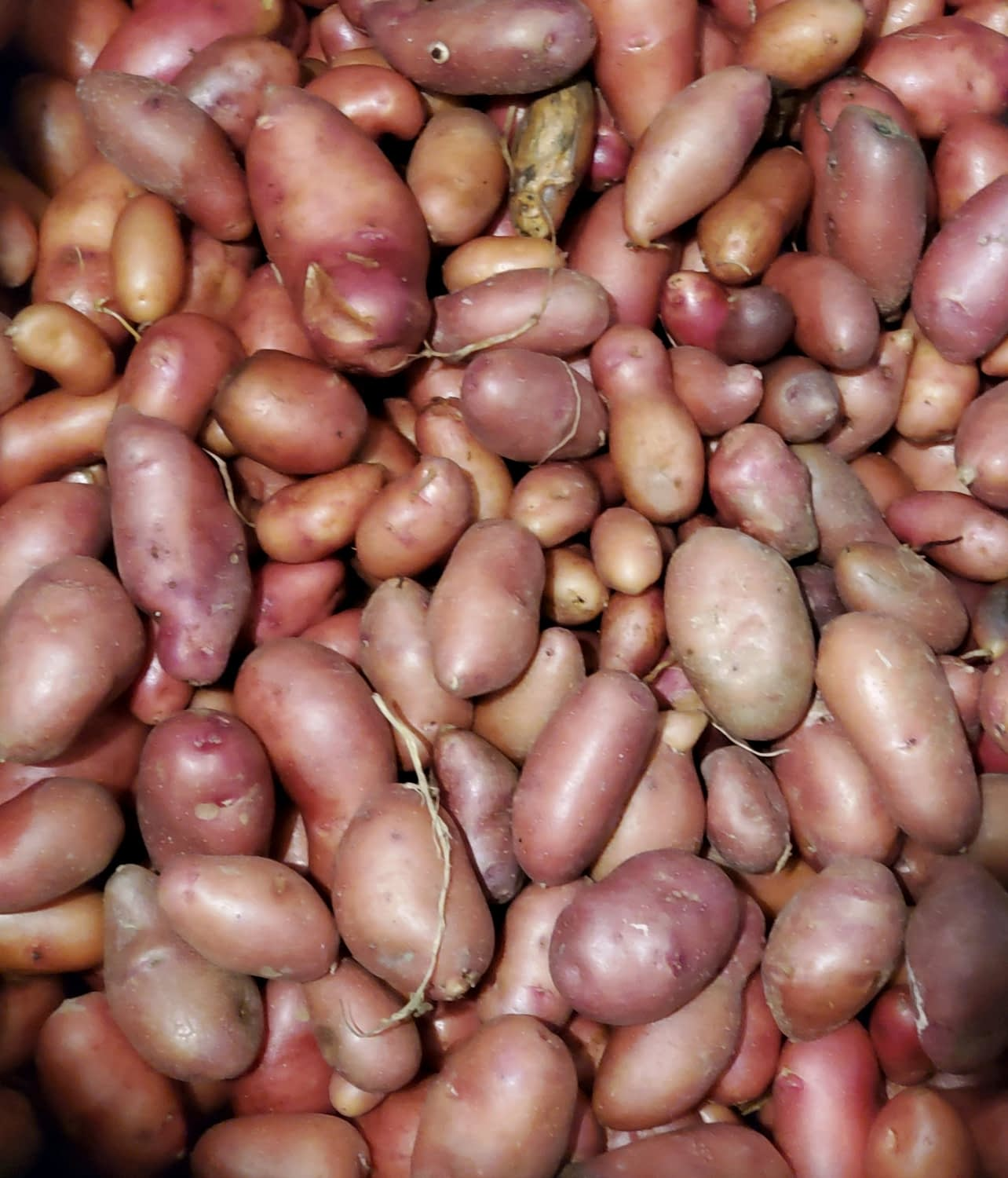 Farm Truck Fresh Fingerling Potatoes